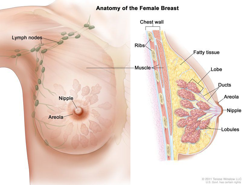 Anatomy of the female breast anterior view and lateral view