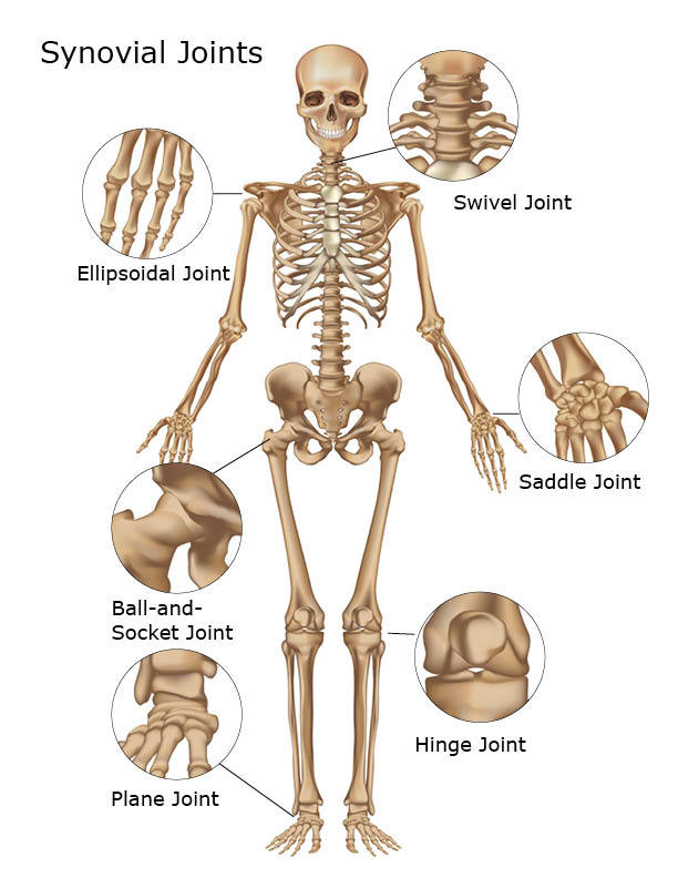 The synovial joint in the human body
