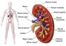 Kidney location and anatomy