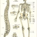 Bones of the skeleton and spine anatomy