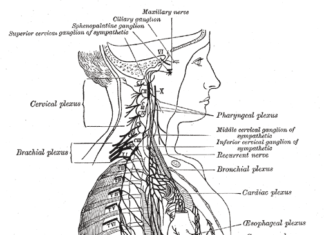 Human body nervous system sectional diagram