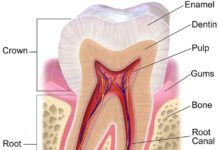 Human tooth anatomical structure in detail