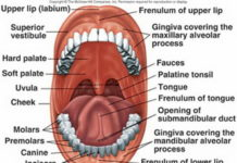 Fauces location in the oral cavity