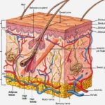 Human skin sectional view