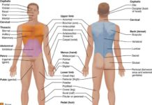 Human body anatomy external view anterior and posterior position