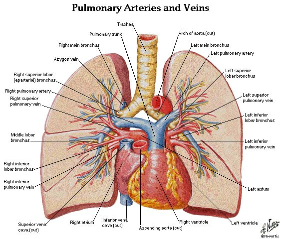 Pulmonary artery and vein anatomy