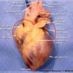 Heart anatomy in real life
