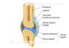 Knee joint diagram