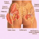Human buttock muscles anatomy