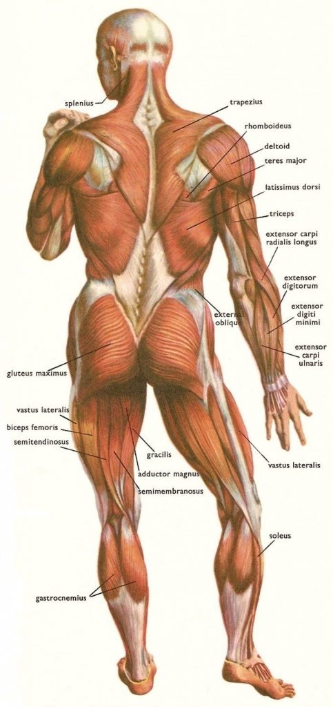 Back view of human muscles gross view