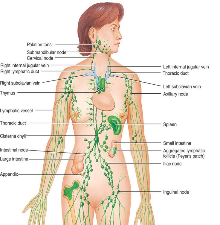 Female lymphatic system anterior view