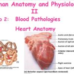 Real heart anterior view and hemoglobin structure