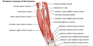 Posterior muscles of the forearm