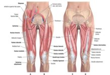 Anterior view of leg muscles