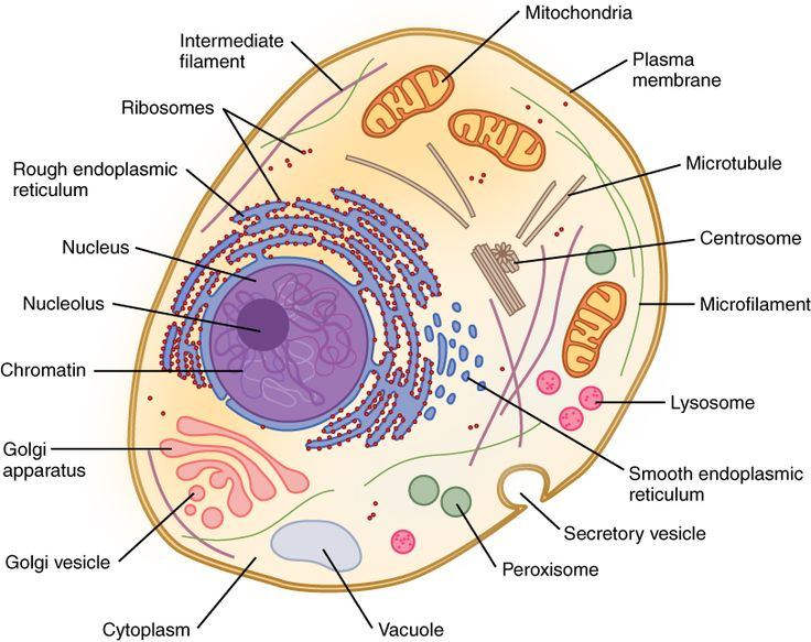 The sectional view of the human cell