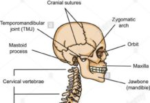 Skull and vertebral column anatomy