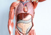 Human internal organs anatomy model