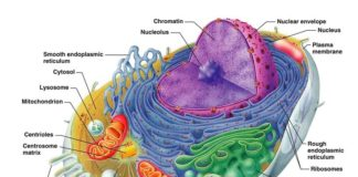 Human cell anatomy and organels diagram