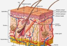 Integumentary system diagram
