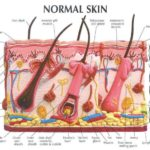 Normal skin anatomical structure