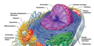 Organism cell diagram