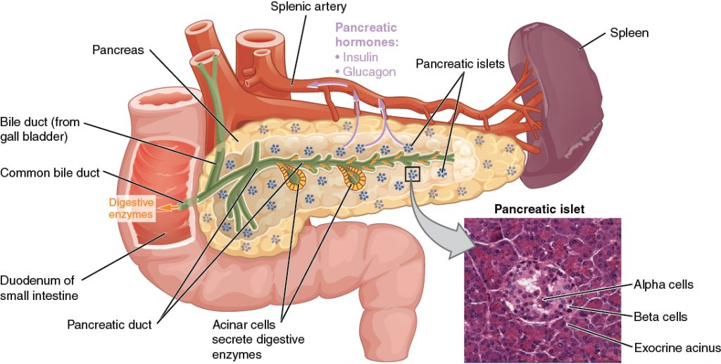 Anatomy of the pancreas in the human body