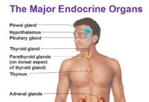 The major endocrine organs in the human body
