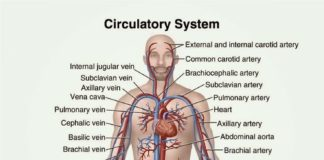 The circulatory system of the human body