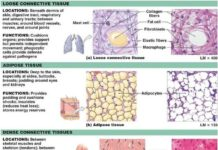 Loose connective tissue, adipose tissue, and dense connective tissue