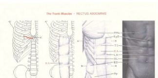Human thorax and abdomen skeleton, muscles, and body landmark