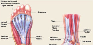 Foot muscle and tendon lateral and inferior view