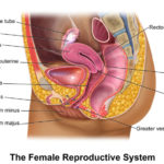 Uterus and ovary location