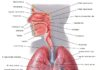 Heart location in the human body