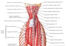 Human back muscle anatomical structure in detail