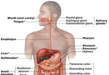 Pancreas location in the digestive system