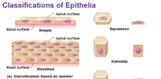 Classifications of epithelia