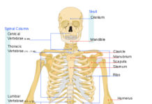 Human bone anatomy in detail anterior view