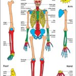 Human skeleton introduction for a kid