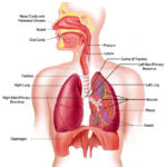 Lung location