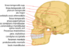 Lateral view of a human skull