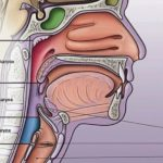 Human neck sectional view