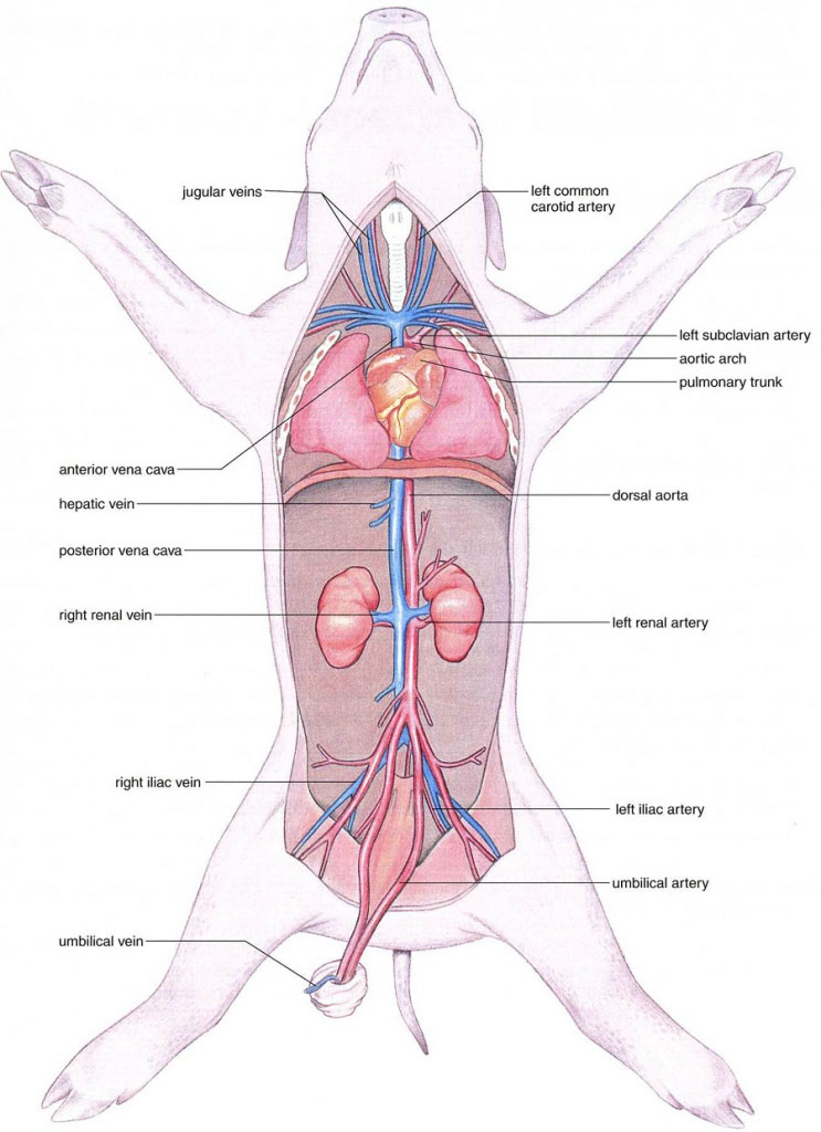 Pig internal organ anatomy