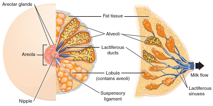 Lactiferous sinuses location in the breast