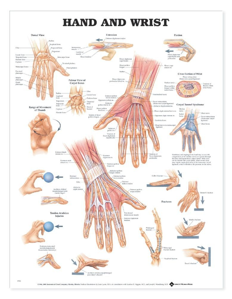 Hand and wrist anatomy gross view