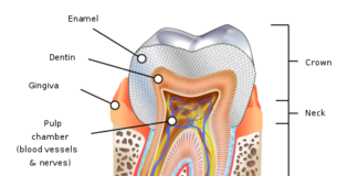 Anatomy of human tooth structure