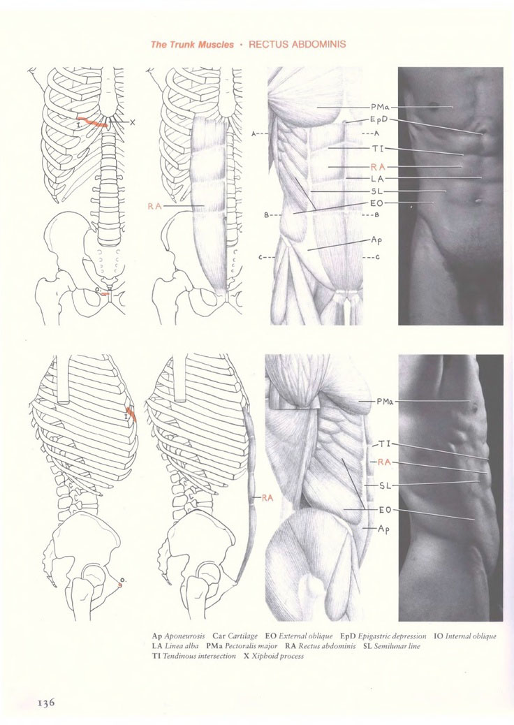 The trunk muscles rectus abdominis