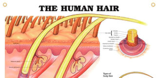 The human hair introduction