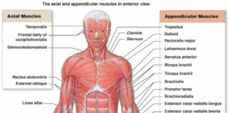 The axial and appendicular muscles in anterior view medical terminology