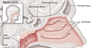 The nasal cavity in detail