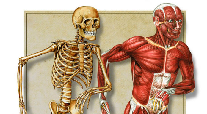 Muscle and bone friends diagram